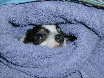 Awake and Comfortable after safe pet anesthesia at Arizona Veterinary Dental Specialists